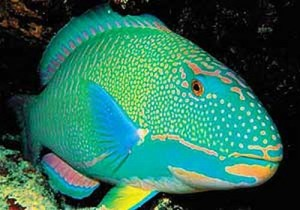 pez loro1 300x210 Pez Loro