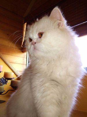 Cuidados del pelaje del gato persa
