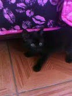 Jack, un hermoso gato negro