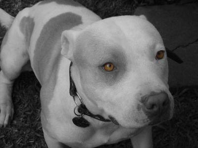Cualidades del perro de raza Pitbull