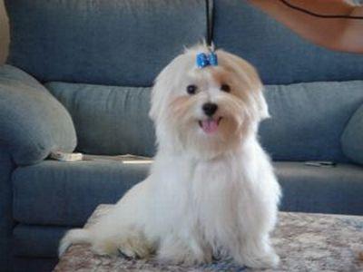 BICHON MALTES Razas de perros recomendadas para personas alergicas