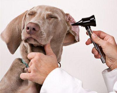 Síntomas y tratamiento para ácaros del oído del perro