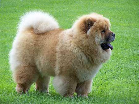 perro chow chow Cuanto es el tiempo de gestación del perro de raza chow chow