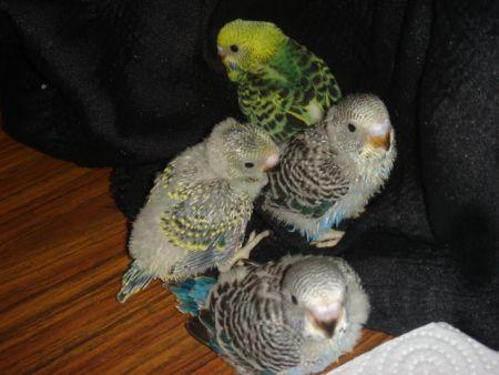 Problemas que se presentan en una nidada de pericos australianos.