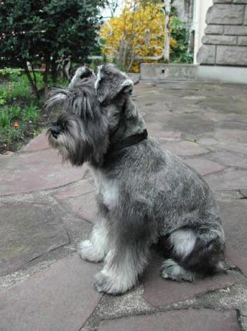 schnauzer miniatura Razas de perros recomendadas para personas alergicas