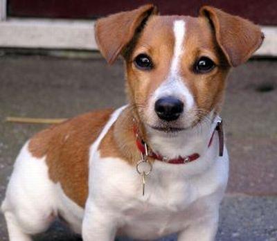 JACK RUSE TERRIER Perro de raza Jack Russell Terrier