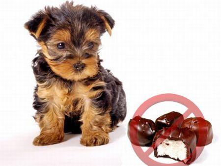 No chocolate Porque los perros no deben comer chocolate