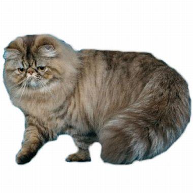 Raza de gato Persa Tabby