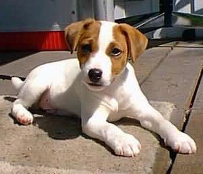 Perro de raza Jack Russell Terrier Perro de raza Jack Russell Terrier