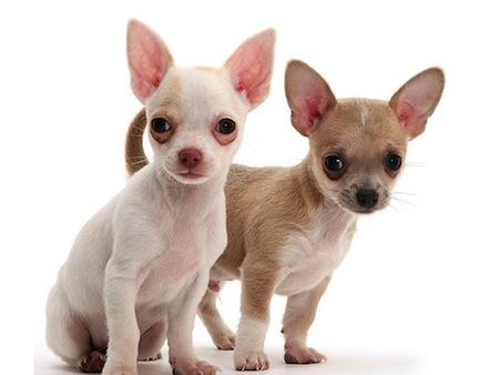 Razas de perros Enanos