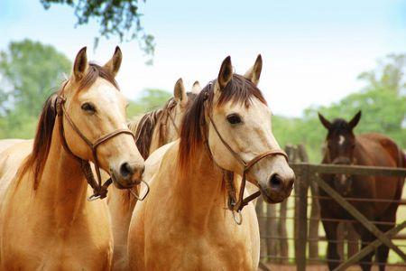 Raza de caballo Criollo