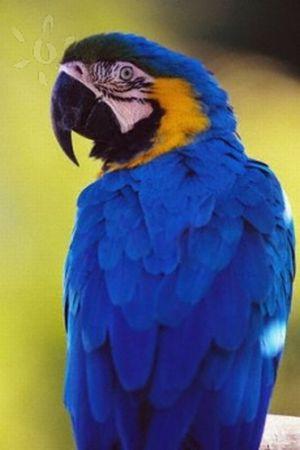 Las guacamayas azules
