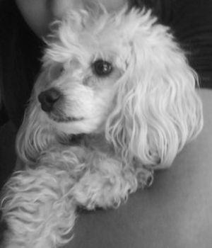 Cuidados Básicos De Un French Poodle Mascotasscom