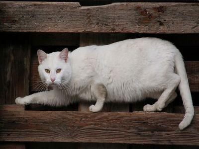 ANGORA 10 Hermosas fotos de gatos angora