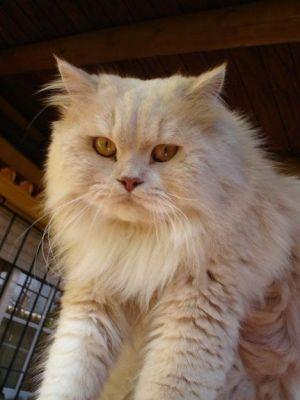 ANGORA 11 Hermosas fotos de gatos angora