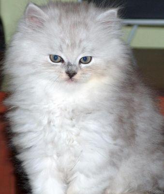 ANGORA 2 Hermosas fotos de gatos angora