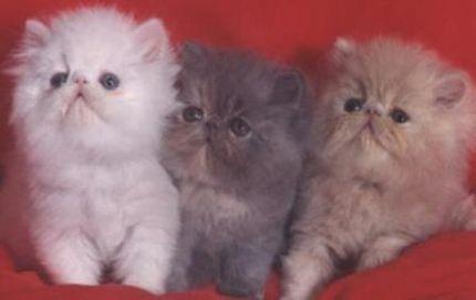ANGORA 3 Hermosas fotos de gatos angora