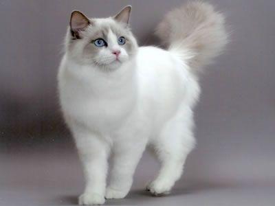 ANGORA 4 Hermosas fotos de gatos angora