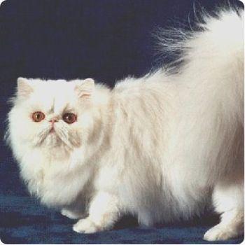 ANGORA 5 Hermosas fotos de gatos angora