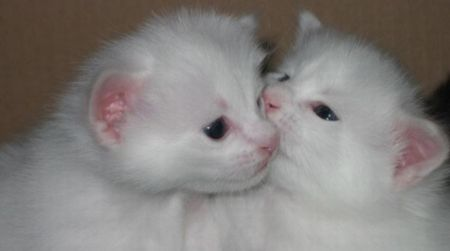 ANGORA 6 Hermosas fotos de gatos angora