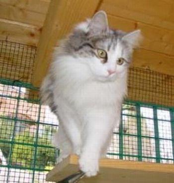 ANGORA 7 Hermosas fotos de gatos angora
