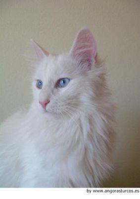 ANGORA 8 Hermosas fotos de gatos angora