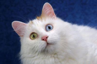 ANGORA 9 Hermosas fotos de gatos angora