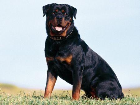 Rottweiler 1 Enfermedades que pueden sufrir los Rottweiler