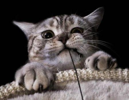 Las razas de gatos más pequeñas