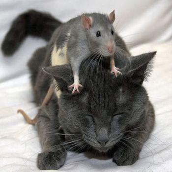 gato y raton 2 Por qué los ratones le tienen miedo a los gatos.