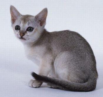 gatos singapura 300x282 Las razas de gatos más pequeñas