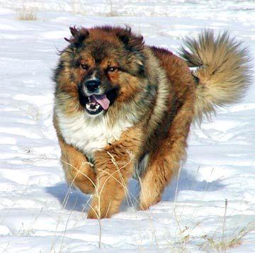 Perro de raza Pastor del Cáucaso