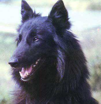 Perro de raza Pastor Belga