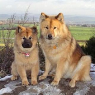Razas de perros el Eurasier