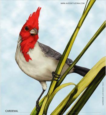 cardenal Los Cardenales y su bello colorido