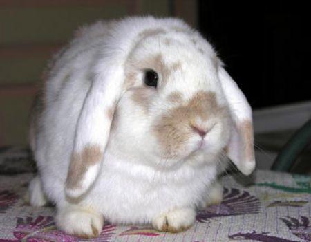 Como tener un conejo sano y lindo