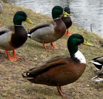 El pato y sus cuidados más importantes