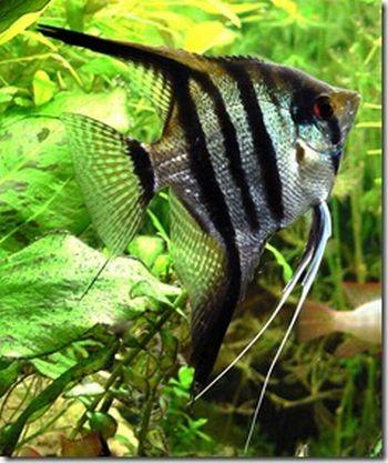 Como alimentar a nuestros peces