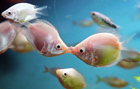 Clases de peces los besadores for Clases de peces de acuario