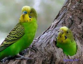 Como se pueden distinguir los pericos australianos hembras de los machos Cómo se puede distinguir los pericos australianos hembras de los machos