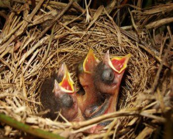 como cuidar pichones de aves Como se deben cuidar los pichones de las aves