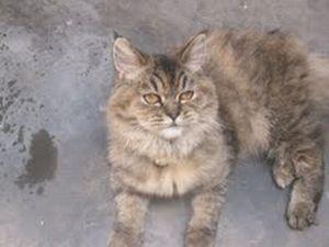 Beltzane bella gatita de raza Persa