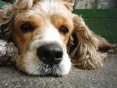 Letargia en perros