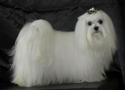 Cómo tratar el pelo del perro maltés