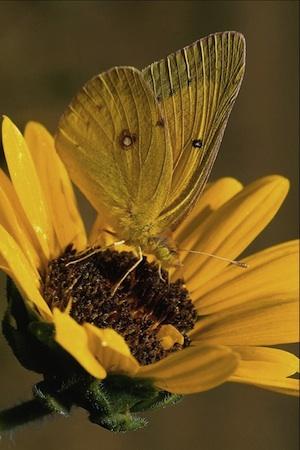 Lindas Mariposas 161 Imágenes de lindas Mariposas