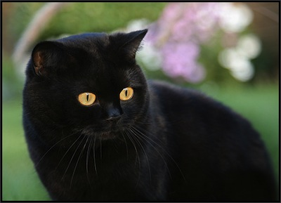 Mitos del Gato Negro