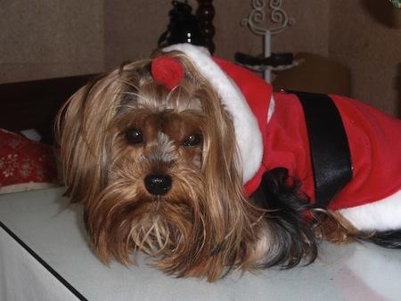 Qué evitar darle al perro en Navidad