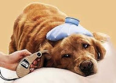 Cuidados de un perro diabético