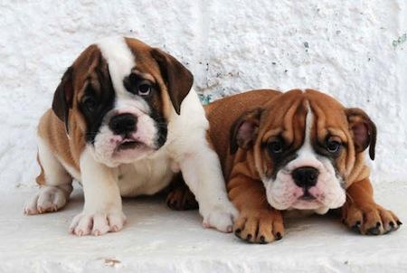 El Perro Bulldog