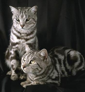 Enfermedades contagiosas en gatos